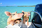 Honeymoon with swimming pigs in The Bahamas