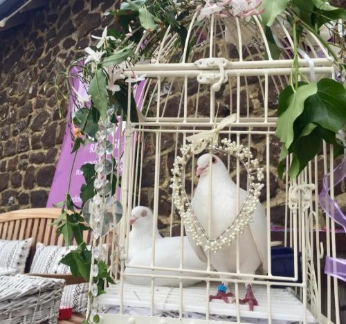 Lamberts White Dove Release